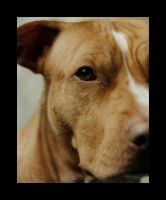 Pit Bull - Gracie by sarallyn