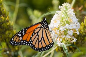 Monarch Butterfly 4544 by DG-Photo
