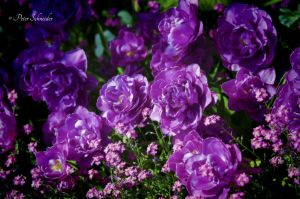 Purple(V). by Phototubby
