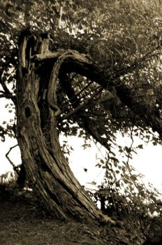 Curved Tree by LDFranklin