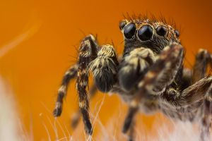 Jumping Spider 4 by Abovelifesize
