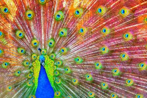 More overly saturated peacock by Doctor-Honesty