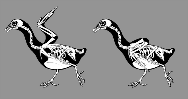 Pigeon skeletals by EWilloughby
