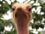 ostriches are ridiculous by eaukes