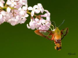 Clear-Winged Hummingbird Moth by Les-Piccolo