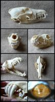 Coyote Skull by CabinetCuriosities