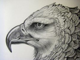 Harpy Eagle Pencil Closeup2 by HouseofChabrier