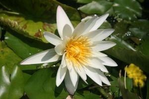 White water lilly by BradleyPitt