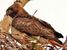 Ma'ma Red Tail Hawk. by MayasAdventures