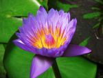 Water lily by Ellaidathea