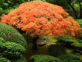 Japanese Maple 2 by Berreitter