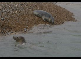 Seals at Blakely Point II by Aizxana
