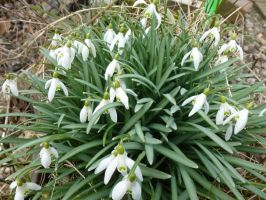 Snowdrops In Front Garden by SrTw
