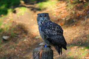 The eagle owl by DarkTara
