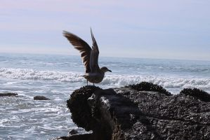 Seagull taking flight by DoomWillFindYou