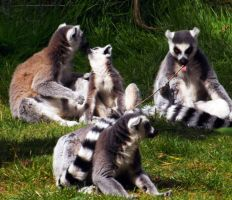 Ring-tailed Lemurs by markeverard