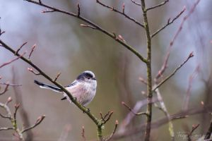 Long tailed tit by FreyaPhotos