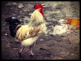 rooster_02 by fuamnach