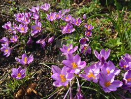 Spring Beauty Crocuses by Bwabbit