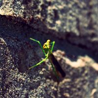 Mantodea by SarahBond
