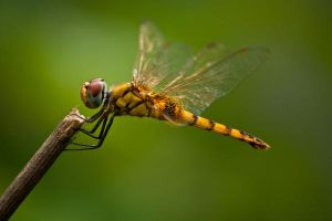 Singing dragon fly by iamshaon