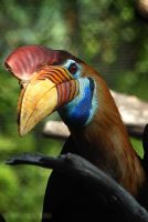 Red-knobbed Hornbill by rgphoto777