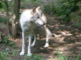 Wolf: stock by Lythre-does-photos
