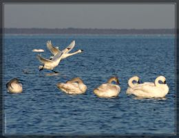 Tundra Swans 40D0033038 by Cristian-M