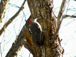 Red Bellied Woodpecker by SuicideBySafetyPin