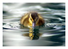 duckling55 by photoflacky