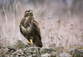 Common Buzzard (Buteo Buteo) by Sergey-Ryzhkov