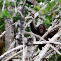Baby chimp in Conkouati NP by PasoLibre