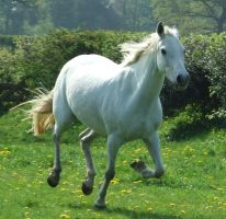 Grey horse cantering by DiveEleanorDive
