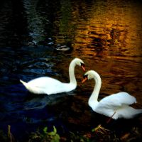 Autumn swans II by lostknightkg