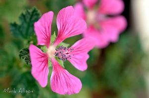 Pretty in Pink by Mark-Allison