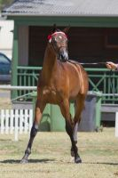 STOCK - 2014 TotR Arabians-99 by fillyrox