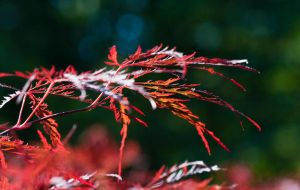 Japanese Maple Leaves by muffet1