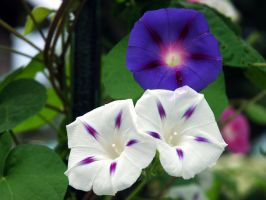 Morning glories by LucieG-Stock