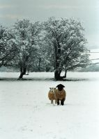 Tups in snow by sandyprints