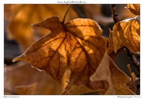 brown leaf backlit by the sun by yellowcaseartist