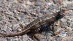 Blue-Bellied Lizard by whereYOUendd