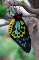 Colorful Yellow, Green, and Blue Butterly by PanisEtCircense