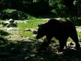 Grizzly Bear 25 by Unseelie-Stock