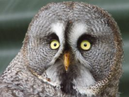 The great gray owl by OneAndOnlySelina