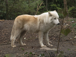Arctic Wolf 15 by xCrystals