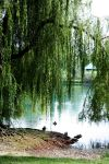 Under the willow by LaguzLake