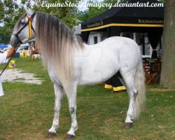 Andalusian 7 by EquineStockImagery