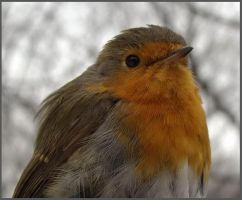 Erithacus rubecula by CathM
