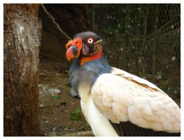 King Vulture I by palantir6