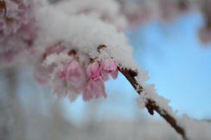 Snow Blossom by WolfOnACrucifix